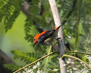 Scarlet-headed Flowerpecker Dicaeum trochileum...