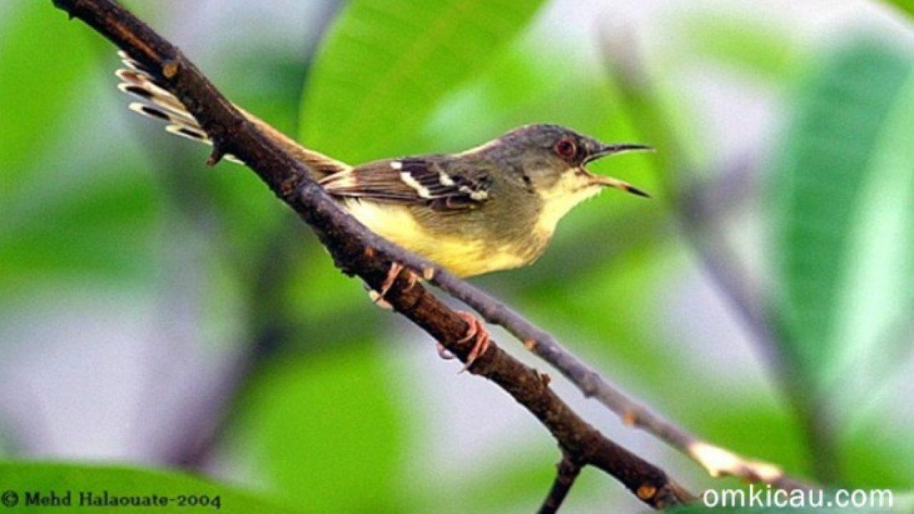 Kunci Utama Perawatan Burung Om Kicau