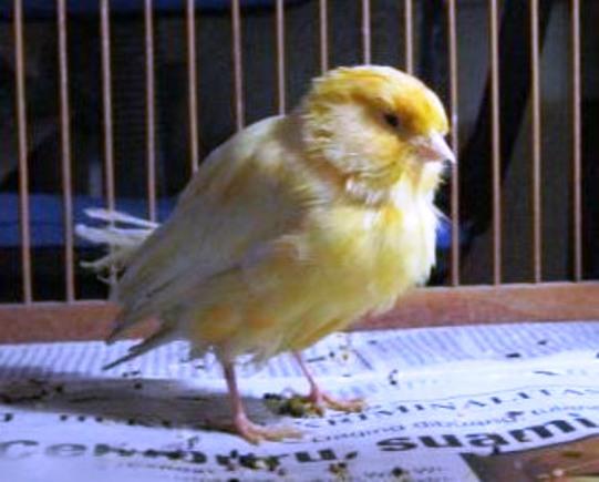 burung kutuan