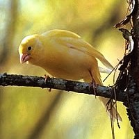 Canary American Singer (www.birdshome.info)