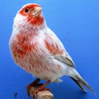 Canary Colorbred (www.birdshome.info)