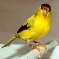 Canary German Roller (www.birdshome.info)