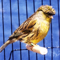 Canary Gloster (www.birdshome.info)