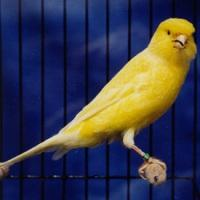 Canary Border Fancy (www.birdshome.info)