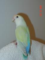 African Lovebird Society)