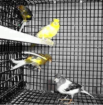 Spanish Timbrado Canary (www.birdshome.info)