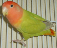 australian_cinnamon_opaline_rt_photo_kw