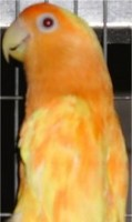 orange_suffusion_b_gbirds