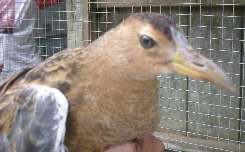 Burung ini katanya enak sekali (Foto: rawapening.blog.friendster.com)