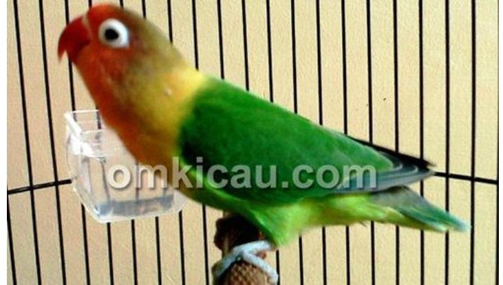 feat-lovebird