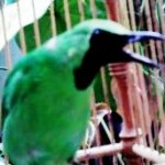Burung cucak ijo ngentrok dan gacor hanya bisa kita dapatkan jika kita memperhatikan kesehatan dan perawatan harian termasuk asupan makanan yang bergizi, penuh vitamin dan mineral.