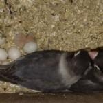 Sepasang indukan hitam-hitam ketika mengerami telurnya yang antara lain keluar Si Albino