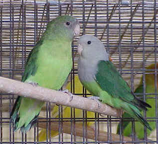 Jenis  warna  dan penyebaran lovebird love bird LB  OM KICAU