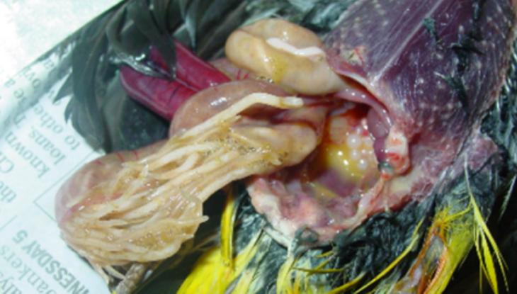 burung-terinfeksi-cacing