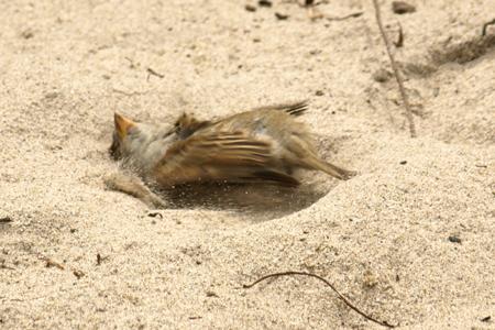 Burung sedang mandi pasir