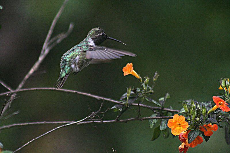 Foto Foto Burung Kolibri Om Kicau