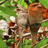 Sri Lanka Frogmouth (burung bersuara mirip katak) 2