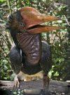 Helmeted Hornbill atau Enggang Gading (kepala dan paruh besar)