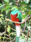 """Resplendent Quetzal (kepalanya """"tertelan bola"""") 2"""