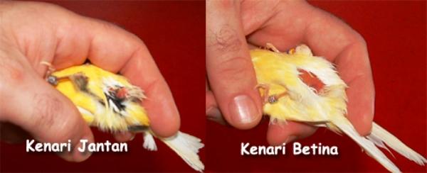 Menentukan Jenis Kelamin Burung Anakan Kampiun Pun Bisa Meleset Om Kicau