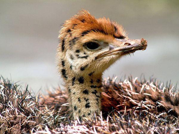 Anak burung unta di kebun binatang Basel, Swiss – National Geographic