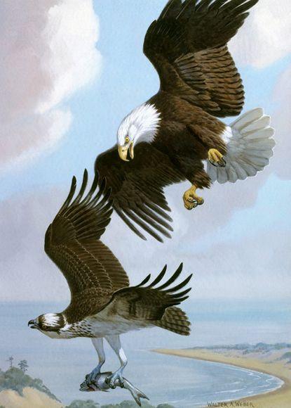 Bald Eagle Chasing Osprey – Lukisan Walter Weber di National Geographic