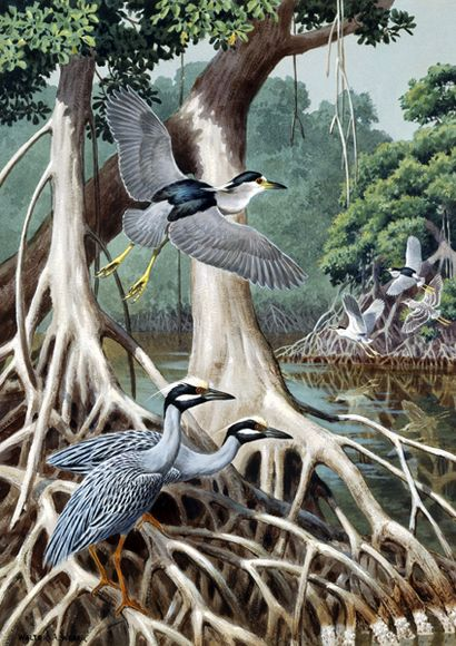 Black Crowned and Yellow Crowned Night-Herons – Lukisan Walter Weber di National Geographic