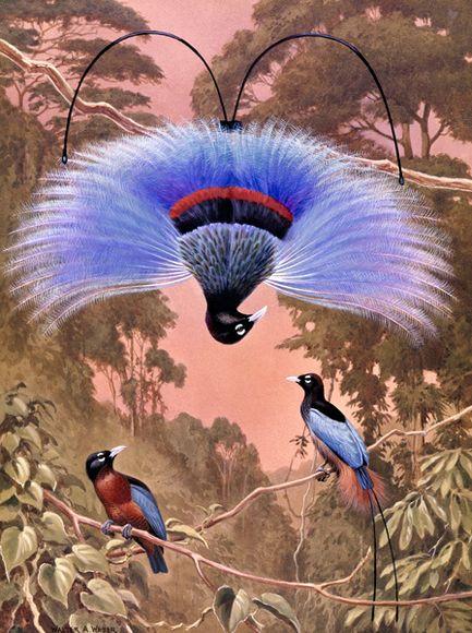 Blue Bird-of-Paradise – Lukisan Walter Weber di National Geographic