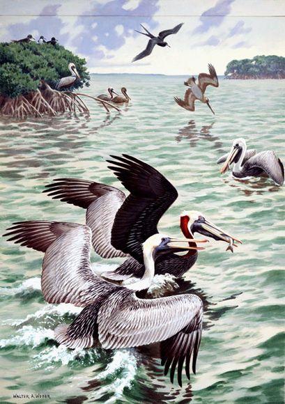 Brown Pelicans – Lukisan Walter Weber di National Geographic
