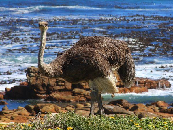 Burung unta atau ostrich di perairan laut Cape of Good Hope Afrika Selatan – National Geographic