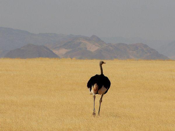 Burung unta di dekat Sossusvlei, Namibia – National Geographic