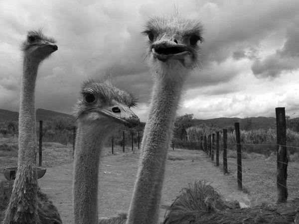 Burung unta di Villa de Leyva Colombia – National Geographic
