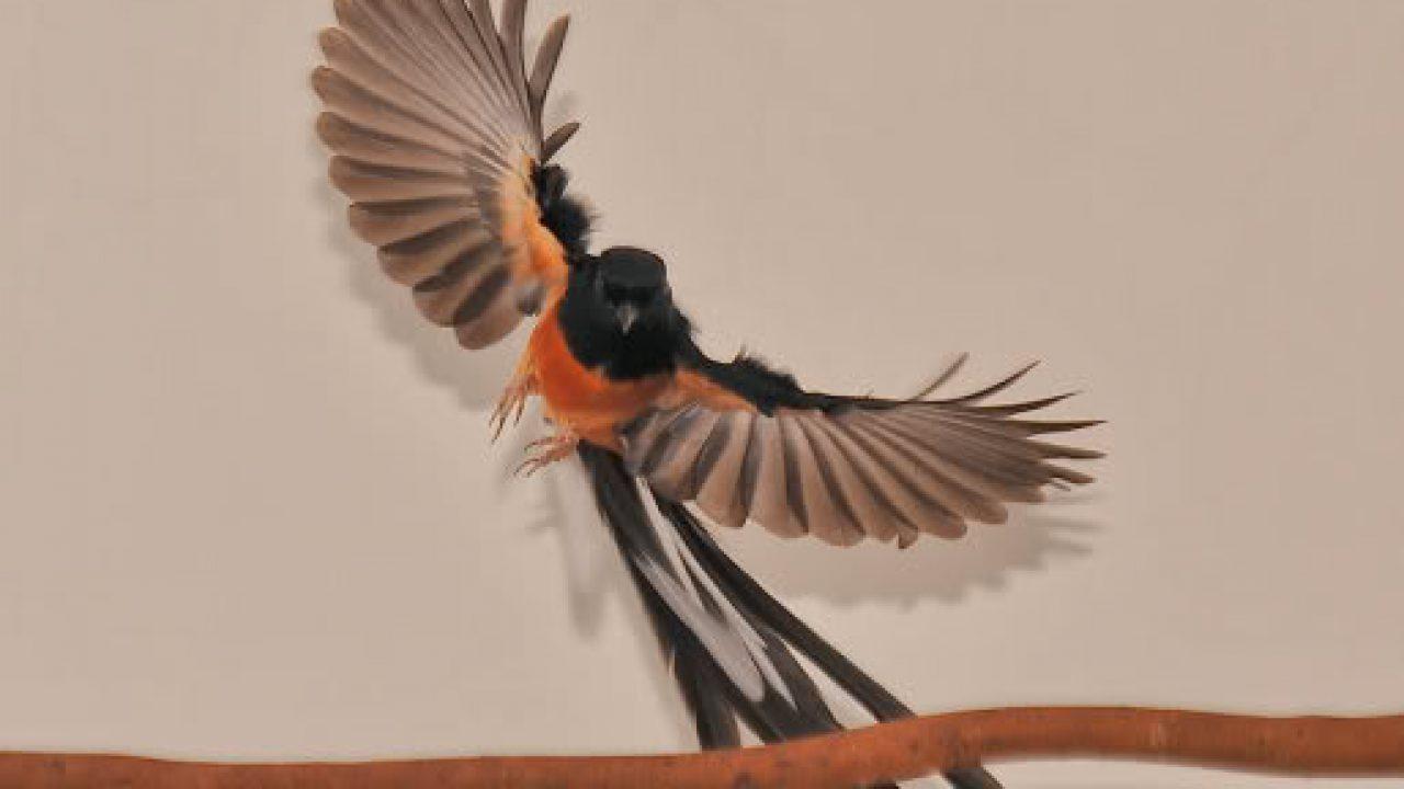 Burung Murai Batu Medan Ada Enggak Sih Om Kicau
