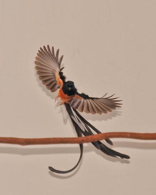 Burung murai batu medan: Apakah seperti ini yang dicari