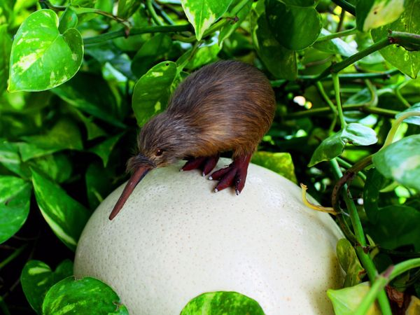 Kiwi di atas telur – The kiwi is the sole survivor of an ancient order of birds, including the now extinct moas of New Zealand – National Geographic