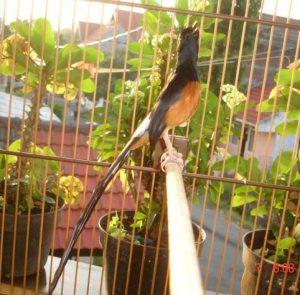 Burung murai batu medan: Kontroversi