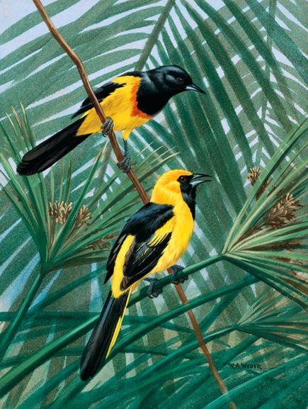 Neotropical Orioles – Lukisan Walter Weber di National Geographic