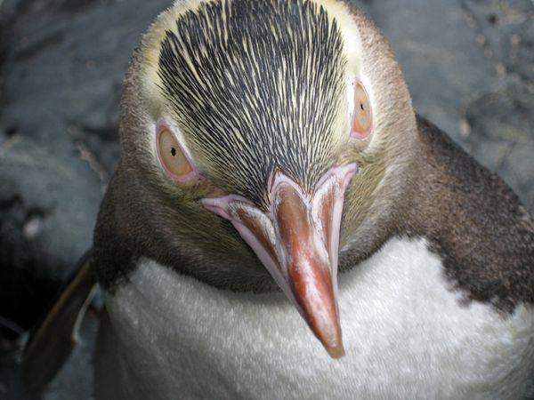 Pinguin mata kuning di kepulauan bagian selatan Selandia Baru – National Geographic