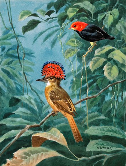 Royal Flycatcher With Red-Capped Manakin – Lukisan Walter Weber di National Geographic