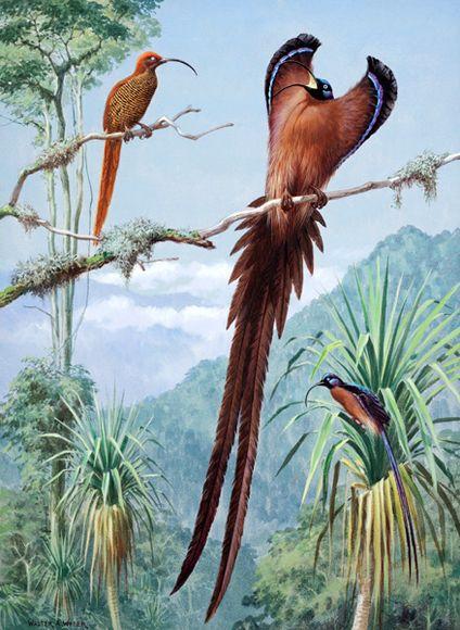 Sicklebills – Lukisan Walter Weber di National Geographic