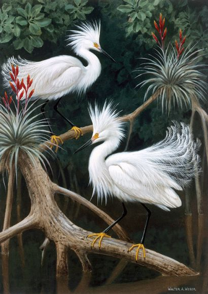 Snowy Egrets – Lukisan Walter Weber di National Geographic