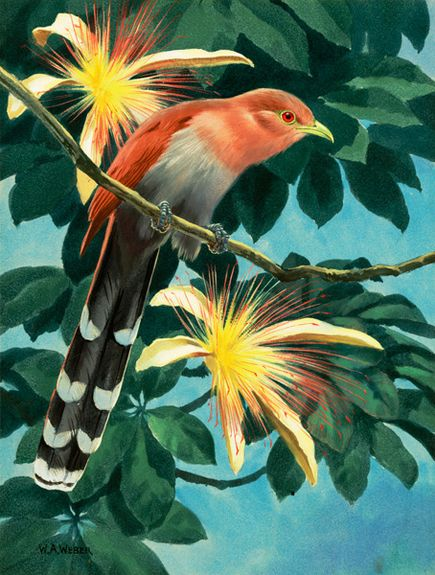 Squirrel Cuckoo – Lukisan Walter Weber di National Geographic