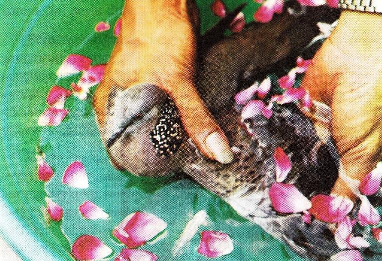 Cara memandikan burung derkuku