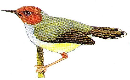 Download suara burung prenjak betina