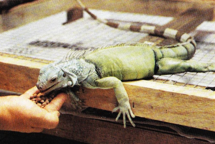 10+ Hewan iguana besar terbaru