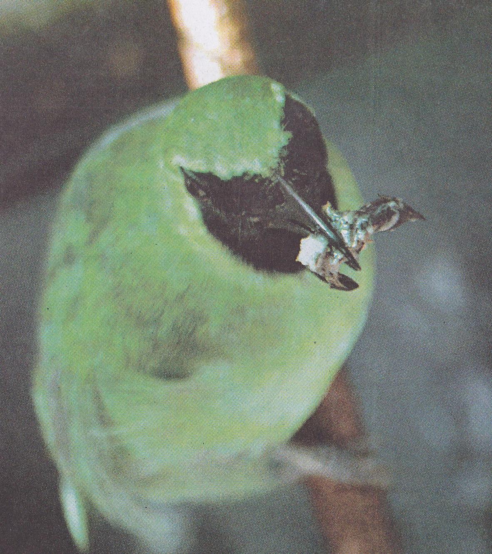 Cucak hijau atau cucak ijo
