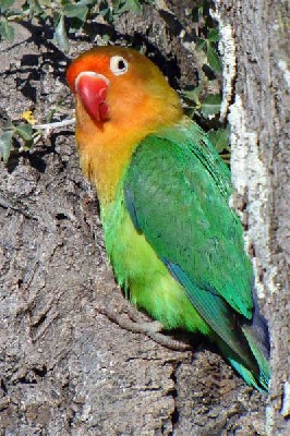 Unduh 51+  Gambar Burung Lovebird Liar  Terbaik