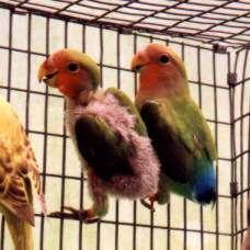 Lovebird penderita PBFD (www.avianbiotech.com)