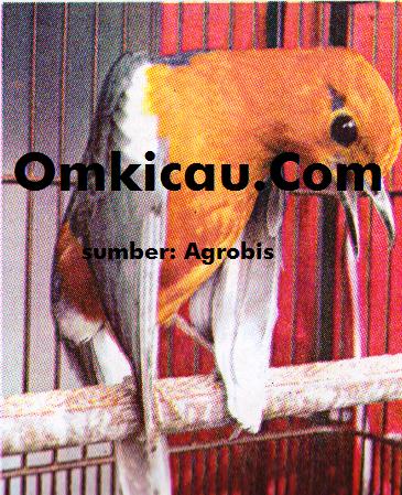 Burung anis merah teler