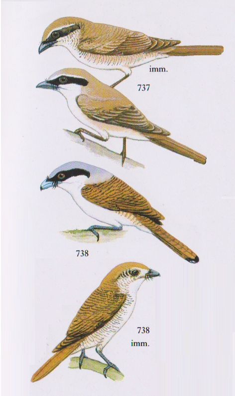 Perbedaan Burung Pentet Jawa Timur Dan Jawa Barat Om Kicau